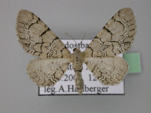 ( - BC ZSM Lep 22780)  @13 [ ] Copyright (2010) Axel Hausmann/Bavarian State Collection of Zoology (ZSM) SNSB, Zoologische Staatssammlung Muenchen