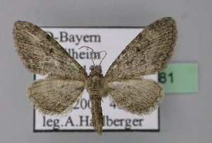 ( - BC ZSM Lep 22781)  @12 [ ] Copyright (2010) Axel Hausmann/Bavarian State Collection of Zoology (ZSM) SNSB, Zoologische Staatssammlung Muenchen