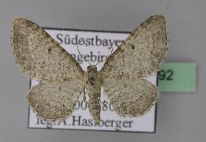 ( - BC ZSM Lep 22792)  @13 [ ] Copyright (2010) Axel Hausmann/Bavarian State Collection of Zoology (ZSM) SNSB, Zoologische Staatssammlung Muenchen
