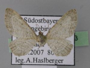 ( - BC ZSM Lep 22793)  @12 [ ] Copyright (2010) Axel Hausmann/Bavarian State Collection of Zoology (ZSM) SNSB, Zoologische Staatssammlung Muenchen