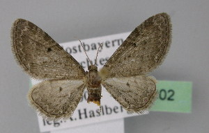 ( - BC ZSM Lep 22802)  @14 [ ] Copyright (2010) Axel Hausmann/Bavarian State Collection of Zoology (ZSM) SNSB, Zoologische Staatssammlung Muenchen