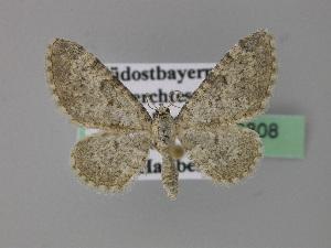 (Eupithecia impurata - BC ZSM Lep 22808)  @15 [ ] Copyright (2010) Axel Hausmann/Bavarian State Collection of Zoology (ZSM) SNSB, Zoologische Staatssammlung Muenchen