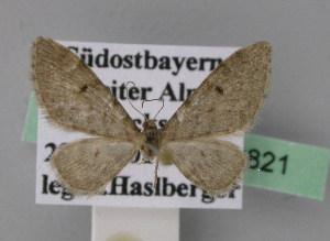 ( - BC ZSM Lep 22821)  @12 [ ] Copyright (2010) Axel Hausmann/Bavarian State Collection of Zoology (ZSM) SNSB, Zoologische Staatssammlung Muenchen