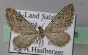 ( - BC ZSM Lep 22825)  @14 [ ] Copyright (2010) Axel Hausmann/Bavarian State Collection of Zoology (ZSM) SNSB, Zoologische Staatssammlung Muenchen