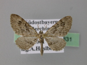 ( - BC ZSM Lep 22831)  @13 [ ] Copyright (2010) Axel Hausmann/Bavarian State Collection of Zoology (ZSM) SNSB, Zoologische Staatssammlung Muenchen