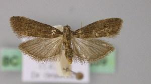 (Eccopisa - BC ZSM Lep 22889)  @14 [ ] Copyright (2010) Axel Hausmann/Bavarian State Collection of Zoology (ZSM) SNSB, Zoologische Staatssammlung Muenchen