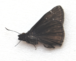 (Erynnis zarucco - BC ZSM Lep 91556)  @13 [ ] by-nc-sa (2016) SNSB, Staatliche Naturwissenschaftliche Sammlungen Bayerns ZSM (SNSB, Zoologische Staatssammlung Muenchen)
