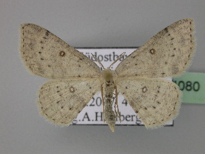 (Cyclophora albipunctata - BC ZSM Lep 24080)  @15 [ ] Copyright (2010) Axel Hausmann/Bavarian State Collection of Zoology (ZSM) SNSB, Zoologische Staatssammlung Muenchen