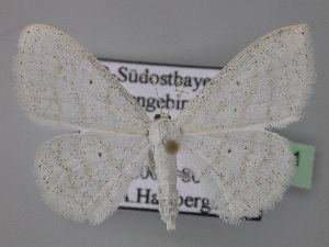 (Scopula subpunctaria - BC ZSM Lep 24091)  @15 [ ] Copyright (2010) Axel Hausmann/Bavarian State Collection of Zoology (ZSM) SNSB, Zoologische Staatssammlung Muenchen