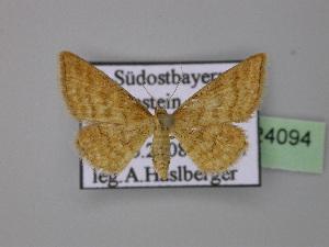 ( - BC ZSM Lep 24094)  @13 [ ] Copyright (2010) Axel Hausmann/Bavarian State Collection of Zoology (ZSM) SNSB, Zoologische Staatssammlung Muenchen