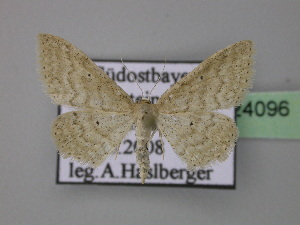 ( - BC ZSM Lep 24096)  @12 [ ] Copyright (2010) Axel Hausmann/Bavarian State Collection of Zoology (ZSM) SNSB, Zoologische Staatssammlung Muenchen