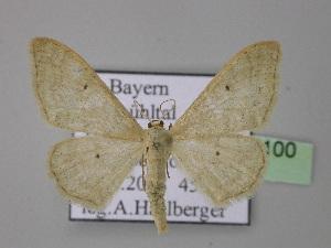 ( - BC ZSM Lep 24100)  @12 [ ] Copyright (2010) Axel Hausmann/Bavarian State Collection of Zoology (ZSM) SNSB, Zoologische Staatssammlung Muenchen