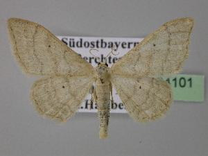 ( - BC ZSM Lep 24101)  @14 [ ] Copyright (2010) Axel Hausmann/Bavarian State Collection of Zoology (ZSM) SNSB, Zoologische Staatssammlung Muenchen