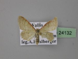 ( - BC ZSM Lep 24132)  @13 [ ] Copyright (2010) Axel Hausmann/Bavarian State Collection of Zoology (ZSM) SNSB, Zoologische Staatssammlung Muenchen