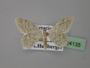 (Idaea metohiensis - BC ZSM Lep 24135)  @14 [ ] Copyright (2010) Axel Hausmann/Bavarian State Collection of Zoology (ZSM) SNSB, Zoologische Staatssammlung Muenchen