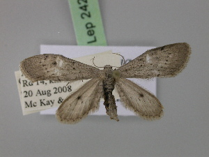 (Eueupithecia - BC ZSM Lep 24264)  @13 [ ] CreativeCommons - Attribution Non-Commercial Share-Alike (2010) Axel Hausmann SNSB, Zoologische Staatssammlung Muenchen