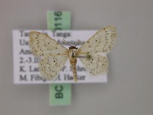 (Scopula ossicolorAH01Tz - BC ZSM Lep 20116)  @14 [ ] CreativeCommons - Attribution Non-Commercial Share-Alike (2010) Axel Hausmann SNSB, Zoologische Staatssammlung Muenchen