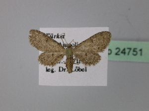 (Eupithecia mima - BC ZSM Lep 24751)  @13 [ ] CreativeCommons - Attribution Non-Commercial Share-Alike (2010) Axel Hausmann SNSB, Zoologische Staatssammlung Muenchen