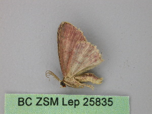 (Cyclophora AH09Pe - BC ZSM Lep 25835)  @13 [ ] CreativeCommons - Attribution Non-Commercial Share-Alike (2010) Axel Hausmann SNSB, Zoologische Staatssammlung Muenchen