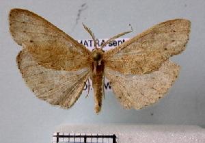 (Cyclophora posticamplum - BC ZSM Lep 30582)  @14 [ ] Copyright (2010) Axel Hausmann/Bavarian State Collection of Zoology (ZSM) SNSB, Zoologische Staatssammlung Muenchen