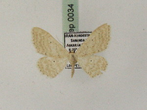 (Idaea persidis - BC PG Lep 0034)  @14 [ ] Copyright (2010) Gergely Petranyi Research Collection of Gergely Petranyi