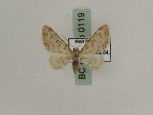 (Eupithecia GP01Ir - BC PG Lep 0119)  @11 [ ] Copyright (2010) Gergely Petranyi Research Collection of Gergely Petranyi