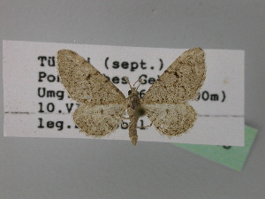 (Eupithecia amasina - BC ZSM Lep 24743)  @14 [ ] CreativeCommons - Attribution Non-Commercial Share-Alike (2010) Axel Hausmann SNSB, Zoologische Staatssammlung Muenchen