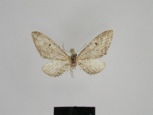 ( - SE MNC Lep 00538)  @12 [ ] Copyright (2010) Sven Erlacher Museum fuer Naturkunde, Chemnitz