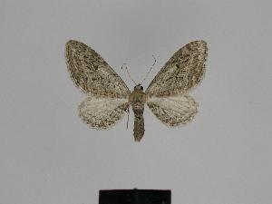 ( - SE MNC Lep 00545)  @12 [ ] Copyright (2010) Sven Erlacher Museum fuer Naturkunde, Chemnitz
