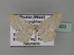 (Scopula AH03Bu - BC ZSM Lep 27503)  @14 [ ] CreativeCommons - Attribution Non-Commercial Share-Alike (2010) Axel Hausmann SNSB, Zoologische Staatssammlung Muenchen