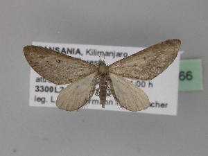 (Eupithecia mendosariaAH02Tz - BC ZSM Lep 29366)  @14 [ ] CreativeCommons - Attribution Non-Commercial Share-Alike (2010) Axel Hausmann SNSB, Zoologische Staatssammlung Muenchen