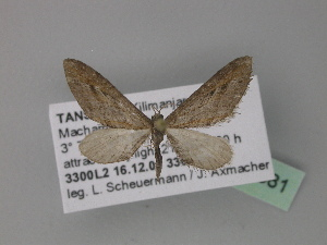 (Eupithecia mendosariaAH05Tz - BC ZSM Lep 29381)  @13 [ ] CreativeCommons - Attribution Non-Commercial Share-Alike (2010) Axel Hausmann SNSB, Zoologische Staatssammlung Muenchen