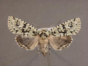 (Griposia wegneri - BC ZSM Lep 33985)  @11 [ ] CreativeCommons - Attribution Non-Commercial Share-Alike (2010) Axel Hausmann SNSB, Zoologische Staatssammlung Muenchen