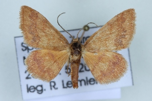 (Idaea exilaria - BC NP 0411)  @13 [ ] Copyright (2010) Norbert Poell Research Collection of Norbert Poell