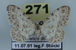 (Idaea vesubiata - BC NP 0413)  @13 [ ] Copyright (2010) Norbert Poell Research Collection of Norbert Poell