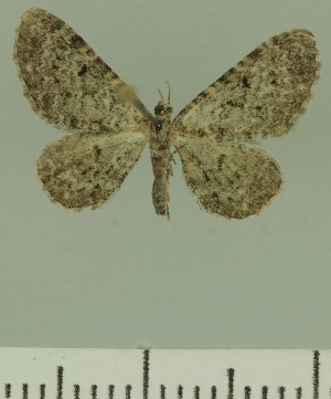 (Eupithecia JLCZW00247 - JLC ZW Lep 00247)  @14 [ ] Copyright (2010) Juergen Lenz Research Collection of Juergen Lenz