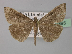 (Hypena obsitalis - BC ZSM Lep 31895)  @14 [ ] CreativeCommons - Attribution Non-Commercial Share-Alike (2010) Axel Hausmann SNSB, Zoologische Staatssammlung Muenchen