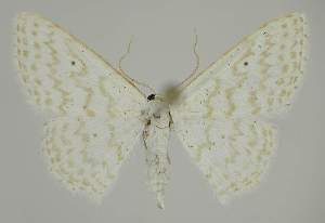 (Idaea chloristis - BC EF Alc 00453)  @14 [ ] Copyright (2010) Egbert Friedrich Research Collection of Egbert Friedrich