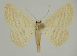 (Idaea EF05 - BC EF Alc 00455)  @14 [ ] Copyright (2010) Egbert Friedrich Research Collection of Egbert Friedrich
