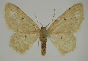 (Idaea EF10 - BC EF Alc 00459)  @14 [ ] Copyright (2010) Egbert Friedrich Research Collection of Egbert Friedrich