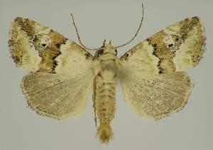 (Maliattha amorpha PS1 - BC EF Alc 00720)  @14 [ ] Copyright (2010) Egbert Friedrich Research Collection of Egbert Friedrich