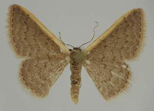 (Idaea inversataAH02 - BC EF Alc 00783)  @14 [ ] Copyright (2010) Egbert Friedrich Research Collection of Egbert Friedrich