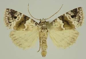 (Maliattha signifera PS1 - BC EF Alc 00878)  @14 [ ] Copyright (2010) Egbert Friedrich Research Collection of Egbert Friedrich