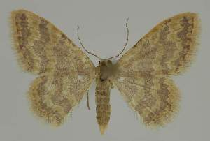 (Idaea AH04 - BC EF Alc 01195)  @14 [ ] Copyright (2010) Egbert Friedrich Research Collection of Egbert Friedrich