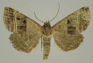 (Ozarba punctigera PS1 - BC EF Alc 01219)  @14 [ ] Copyright (2010) Egbert Friedrich Research Collection of Egbert Friedrich