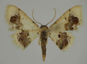 (Idaea EF16 - BC EF Alc 01273)  @14 [ ] Copyright (2010) Egbert Friedrich Research Collection of Egbert Friedrich