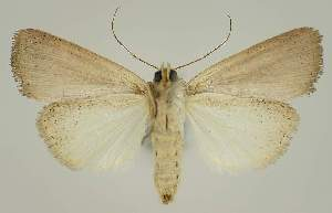 (Leucania scottii - BC EF Alc 01296)  @14 [ ] Copyright (2010) Egbert Friedrich Research Collection of Egbert Friedrich