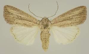 (Leucania rhodopsara - BC EF Alc 01540)  @15 [ ] Copyright (2010) Egbert Friedrich Research Collection of Egbert Friedrich