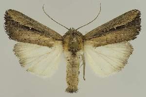 (Leucania designata - BC EF Alc 01552)  @14 [ ] Copyright (2010) Egbert Friedrich Research Collection of Egbert Friedrich