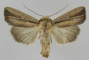 (Mythimna nigrilinea - BC EF Lep 01315)  @14 [ ] Copyright (2010) Egbert Friedrich Research Collection of Egbert Friedrich